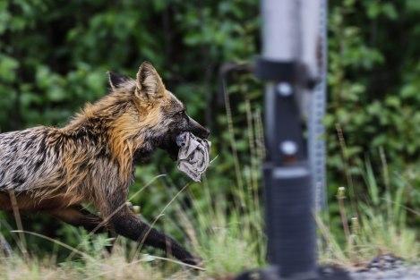 Coyote3.jpg