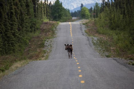 Moose3.jpg