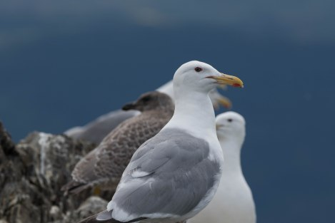 Gull3.jpg