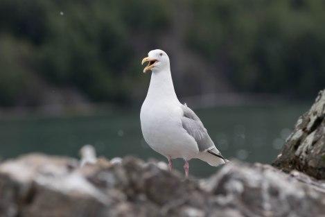 Gull5.jpg